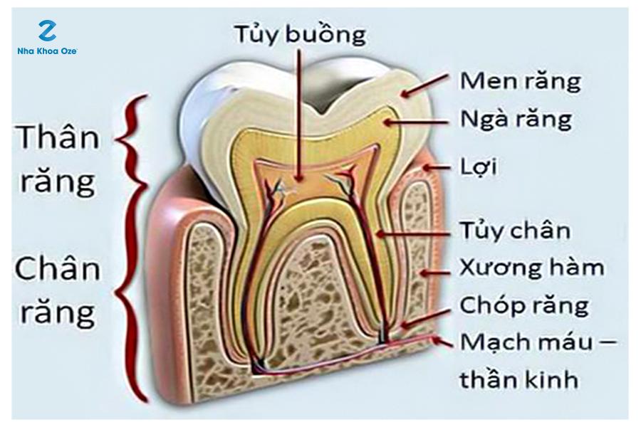 Cấu trúc theo mặt cắt của răng